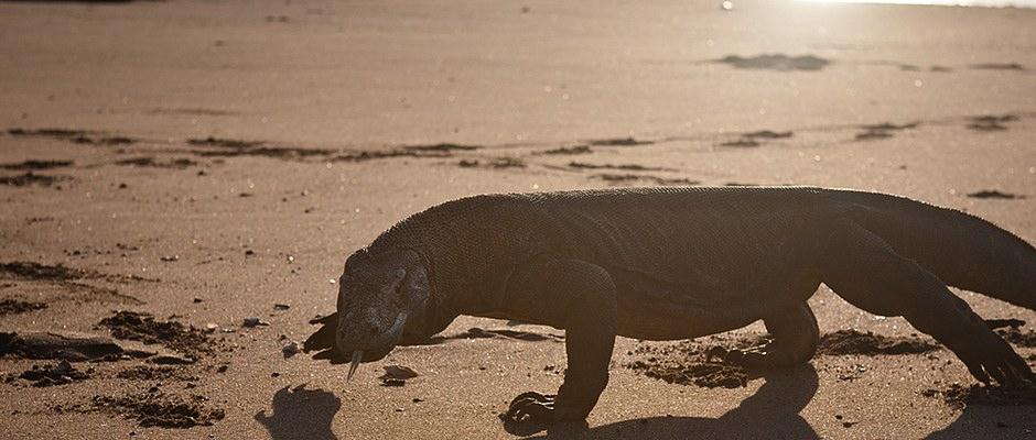 Komodo dragon, strolling an Indonesian beach